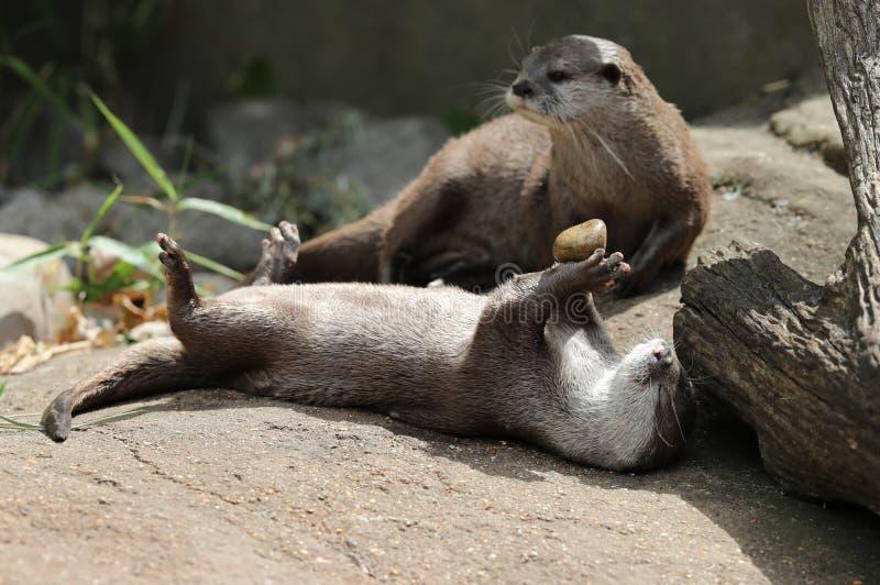 Jogo agarrado curto asiático da lontra fotografia de stock royalty free