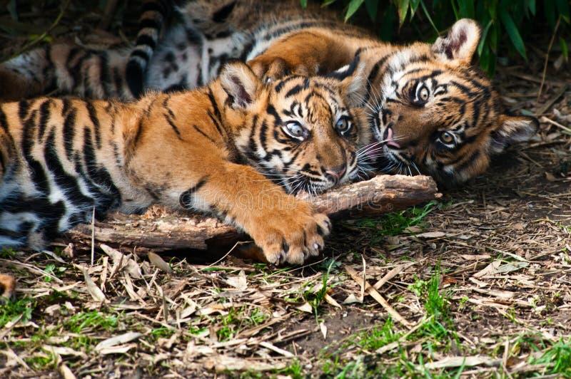 Jogo bonito de dois filhotes de tigre do sumatran foto de stock royalty free