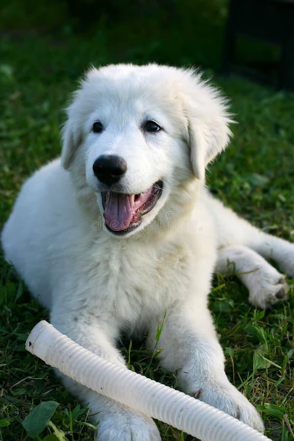 Jogo branco do filhote de cachorro do Sheepdog fotografia de stock