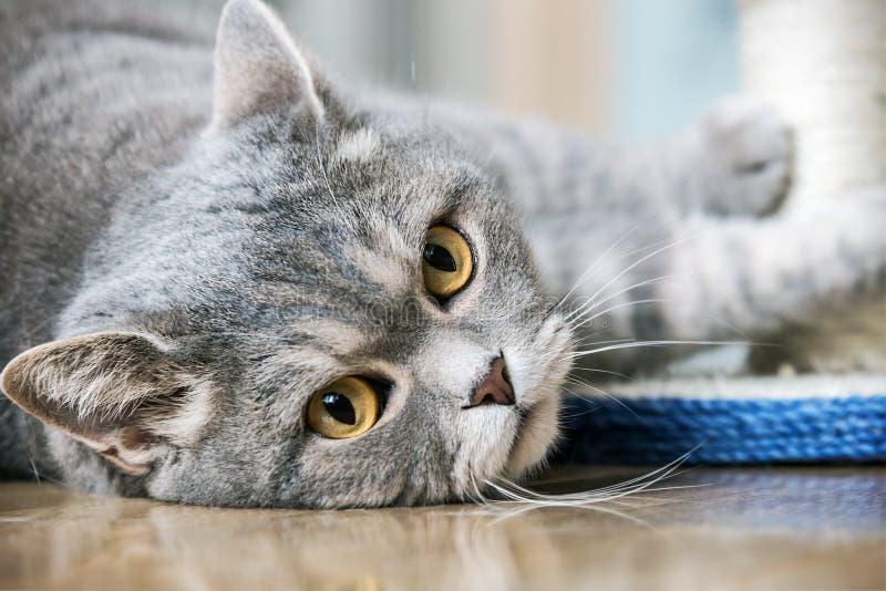 Jogo britânico do gato dos olhos foto de stock