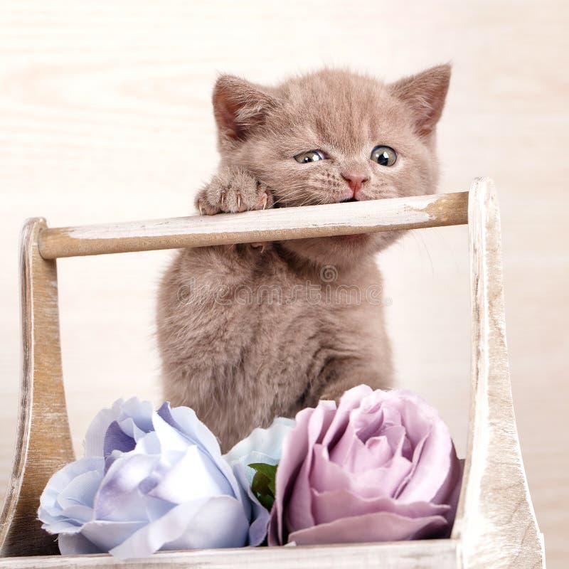 Jogo com flores Retrato do close-up do gato escocês fotos de stock