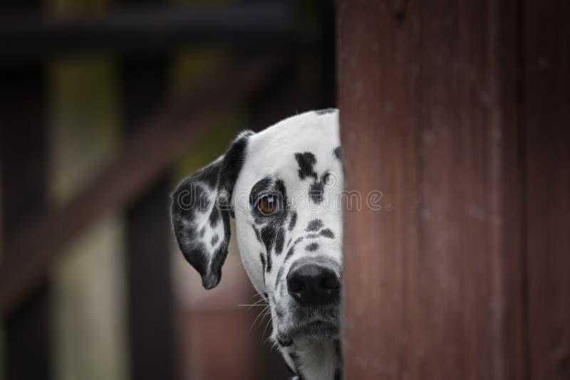 Jogo dalmatian bonito do cão exterior e esconder imagem de stock royalty free