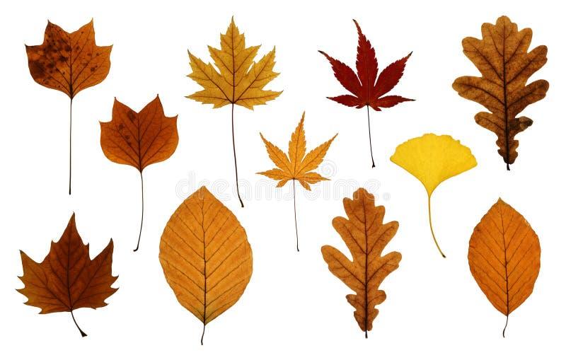 Jogo das folhas de outono isoladas no branco fotografia de stock royalty free