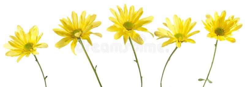 Jogo de cinco flores amarelas da margarida imagem de stock