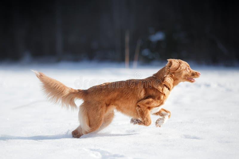 Jogo de corrida do cão ativo fora no inverno imagens de stock royalty free