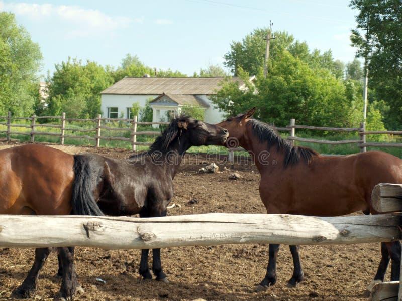 Jogo de dois cavalos imagem de stock