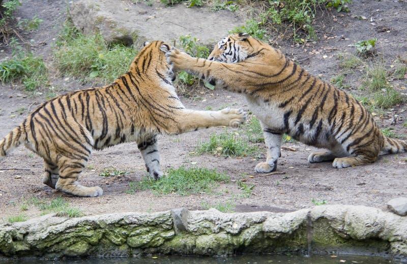 Jogo de dois tigres imagens de stock royalty free