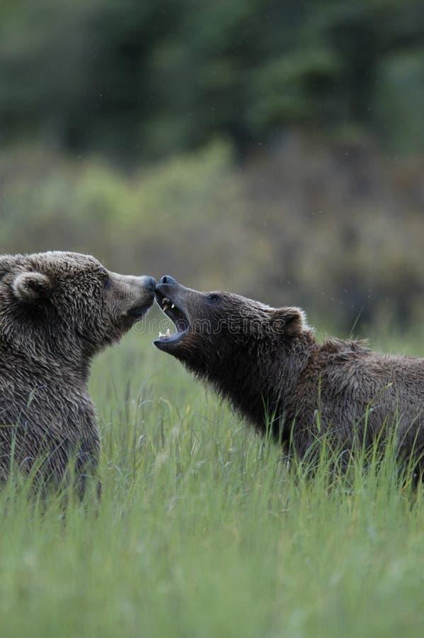 Jogo de dois ursos marrons imagens de stock royalty free