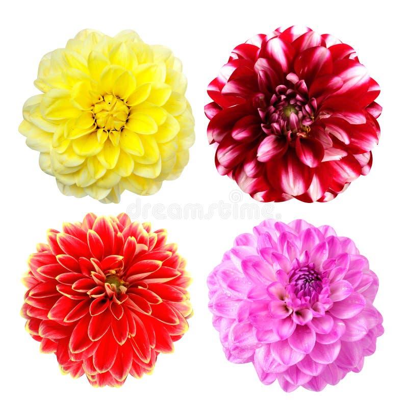 Jogo de flores coloridas da dália imagem de stock