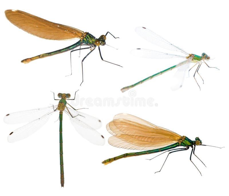 Jogo de quatro libélulas fotos de stock