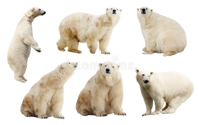 Jogo de ursos polares. Isolado sobre o branco imagens de stock
