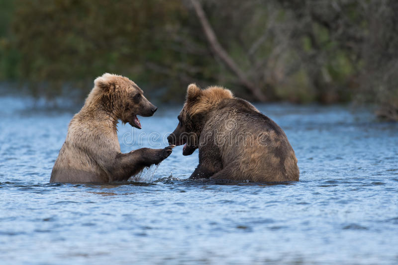 Jogo do Alasca de dois ursos marrons imagem de stock royalty free