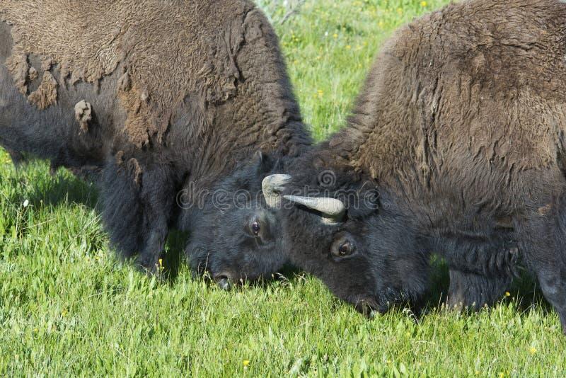 Jogo do bisonte do touro de dois jovens na luta imagens de stock royalty free
