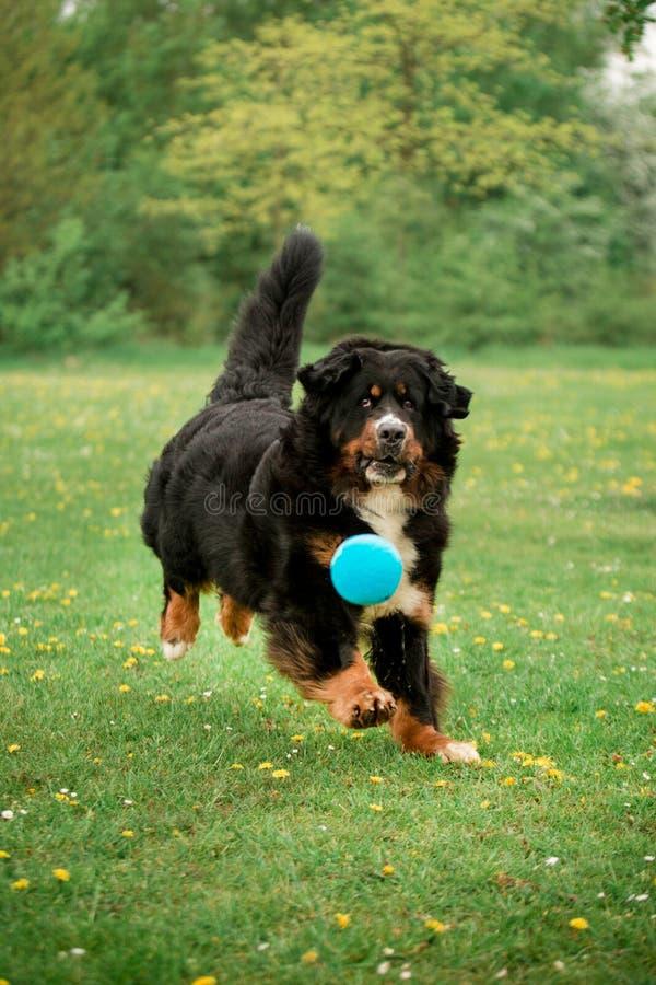 Jogo do cão de montanha de Bernese com bola árvores e flores verdes no fundo imagens de stock