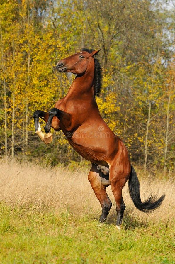 Jogo do garanhão do cavalo de louro na grama no outono fotos de stock