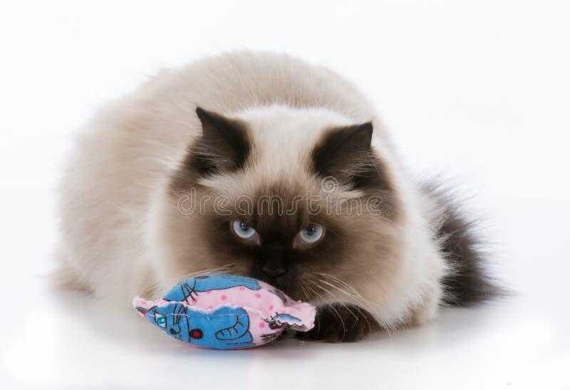 jogo do gatinho do ragdoll foto de stock royalty free