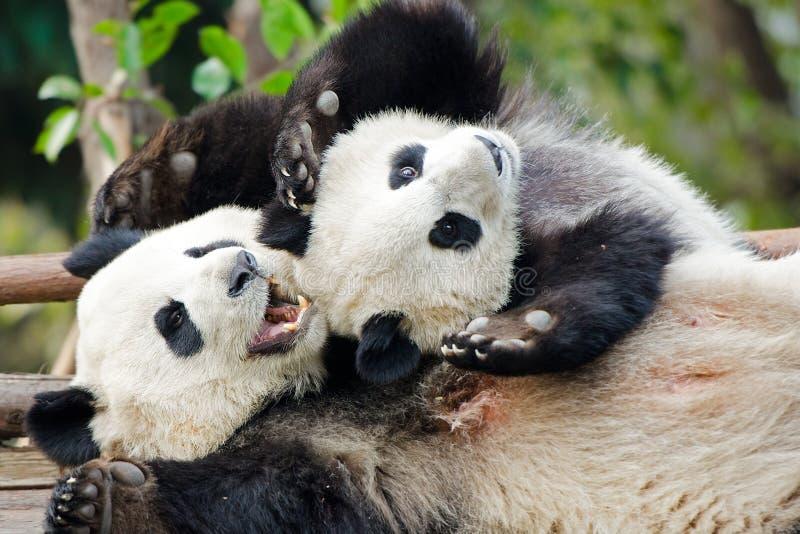 Jogo do gigante Panda Cub e da mãe - Chengdu, China imagens de stock royalty free