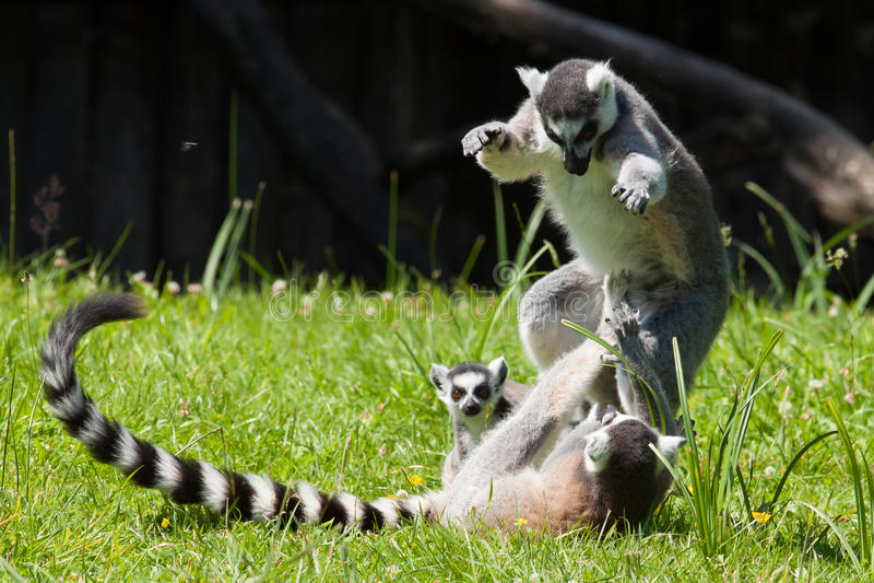 Jogo do lemur Ring-tailed imagens de stock royalty free
