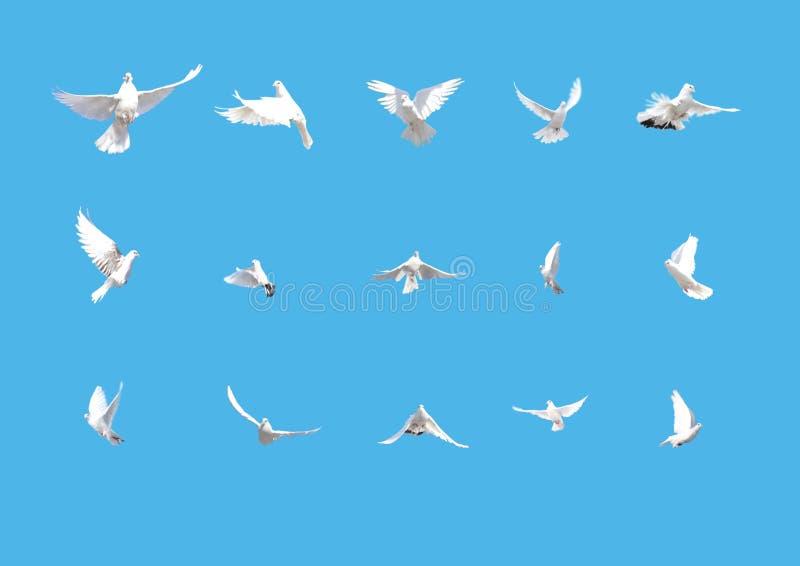 Jogo do voo branco das pombas isolado no azul imagens de stock royalty free