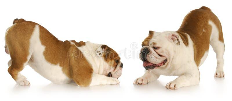 Jogo dos cães foto de stock