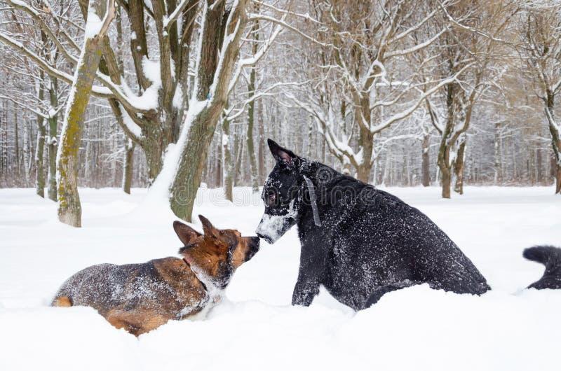 Jogo dos cães um com o otro imagens de stock royalty free
