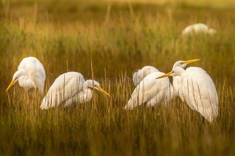 Jogo dos Egrets agradável imagem de stock royalty free