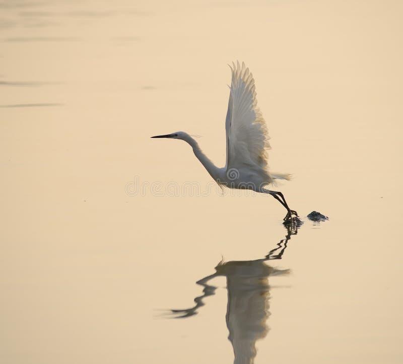 Jogo dos Egrets no por do sol fotografia de stock royalty free