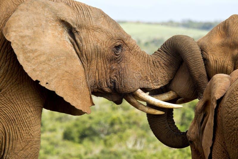 Jogo dos elefantes imagens de stock