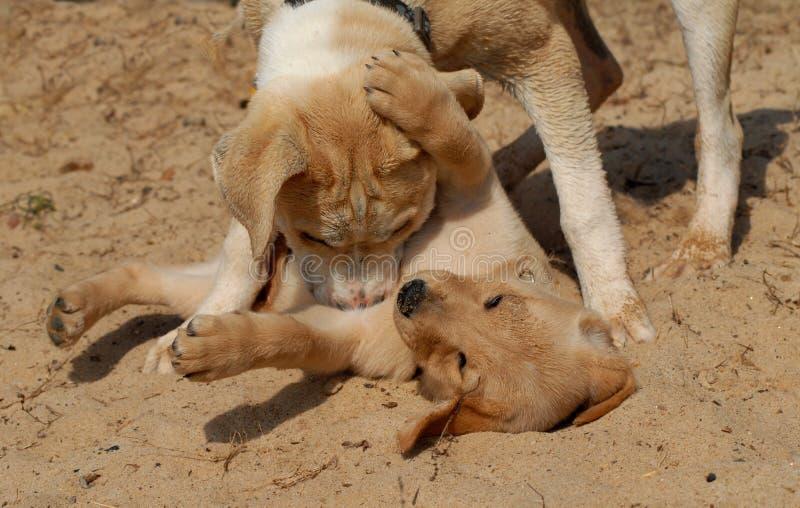 Jogo dos filhotes de cachorro fotos de stock
