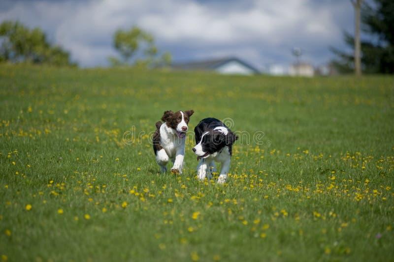 Jogo dos filhotes de cachorro do Spaniel de Springer em um campo foto de stock