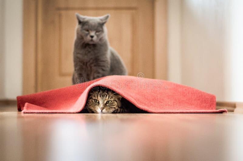 Jogo dos gatos imagens de stock