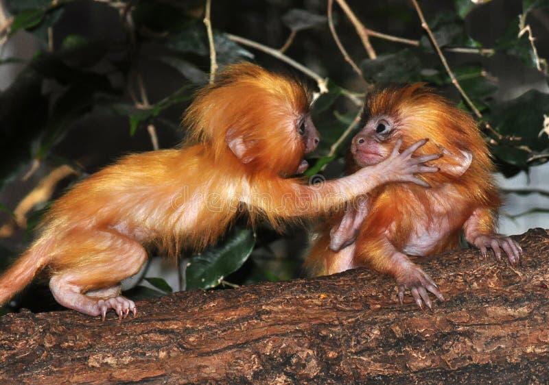 Jogo dourado dos bebês de Lion Tamarin fotografia de stock royalty free