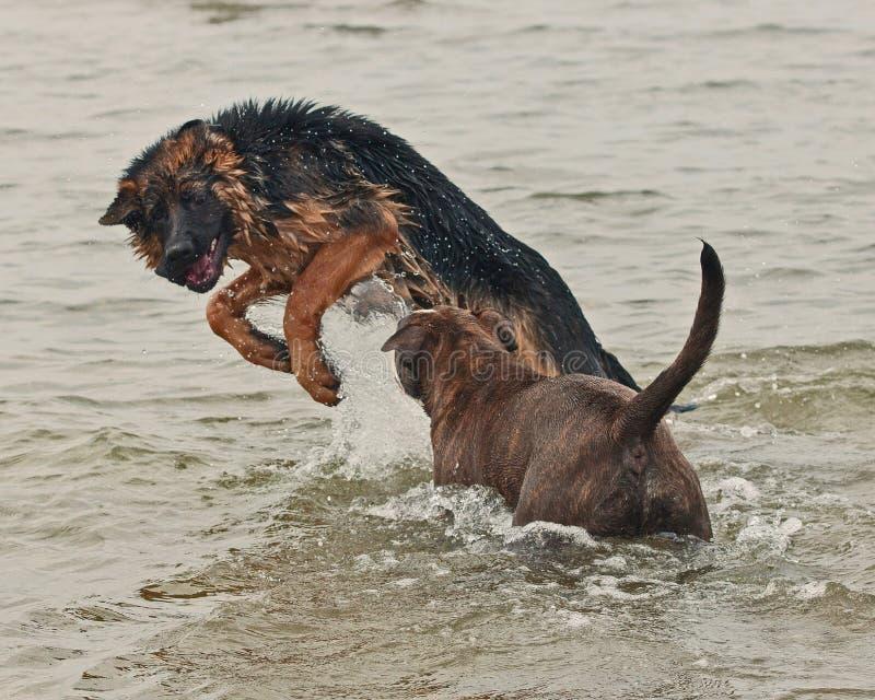 Jogo e luta de dois cachorrinhos fotos de stock royalty free
