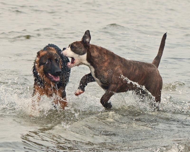 Jogo e luta de dois cachorrinhos duramente imagens de stock royalty free
