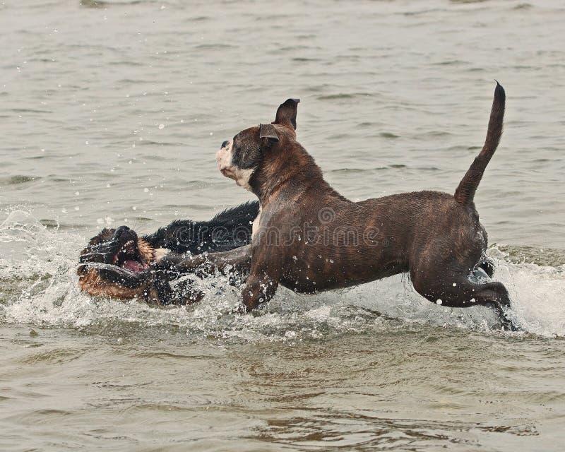 Jogo e luta de dois cachorrinhos na água foto de stock royalty free