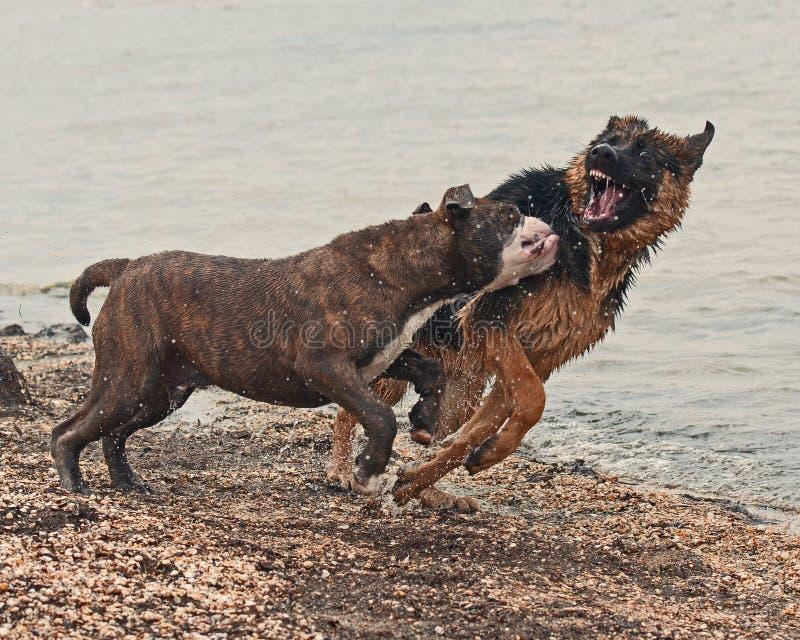 Jogo e luta de dois cachorrinhos na praia imagem de stock royalty free