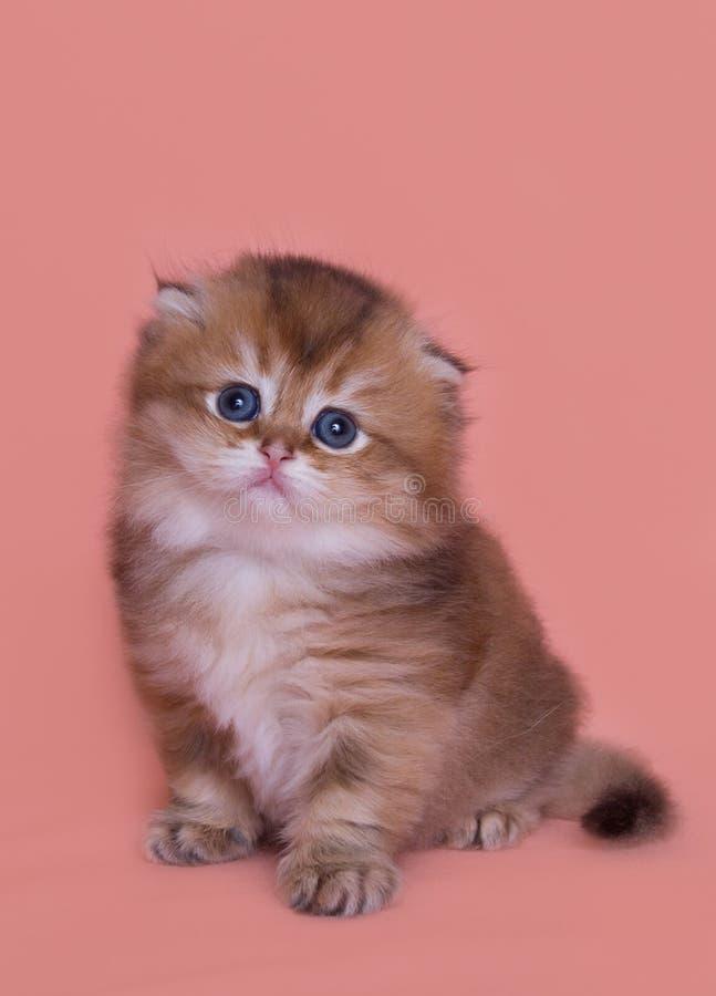 Jogo engraçado do gatinho da dobra das montanhas fotos de stock
