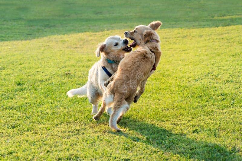 Jogo feliz de dois cães do golden retriever fotografia de stock royalty free