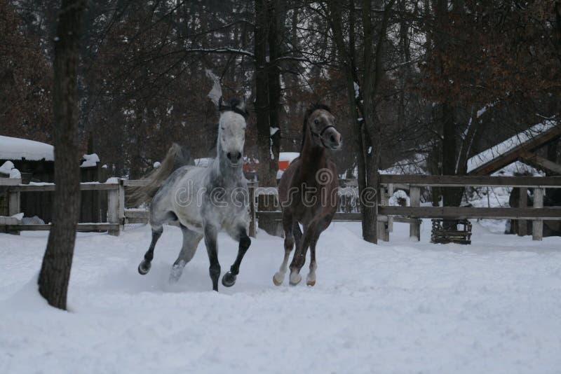 Jogos árabes dos cavalos na neve contra uma cerca branca e árvores com folhas amarelas fotografia de stock royalty free