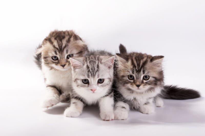 jogos dos gatinhos em um fundo branco fotos de stock royalty free