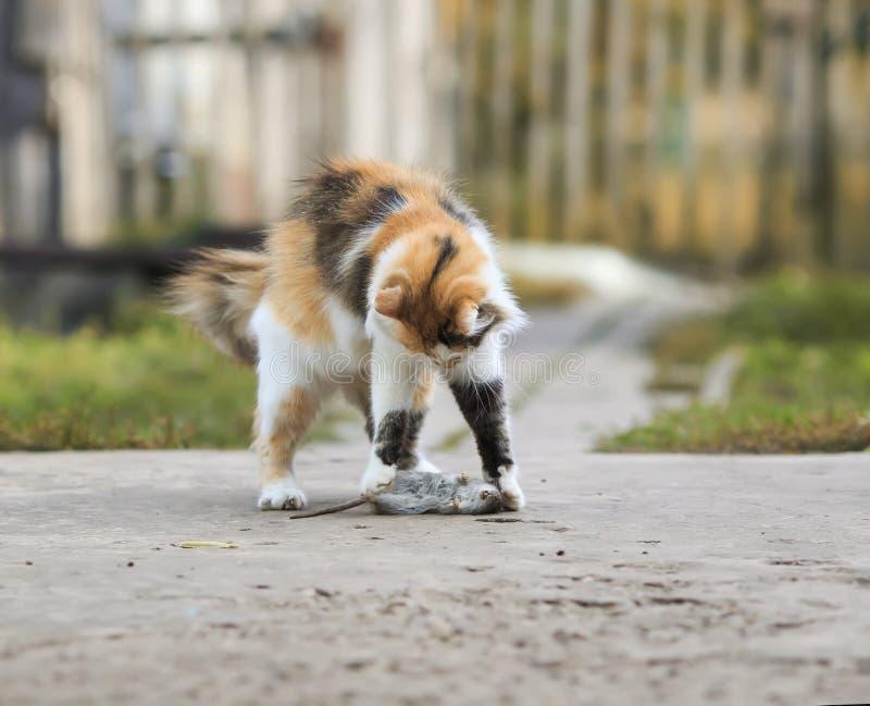 Jogos inteligentes e capturas do gato macio bonito um rato cinzento no th fotografia de stock