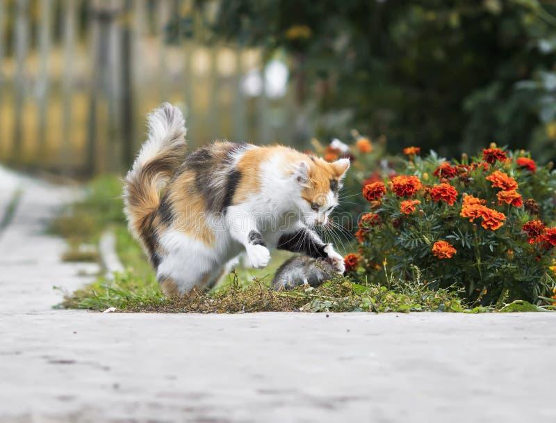 Jogos inteligentes e capturas do gato macio um rato cinzento no jardim imagem de stock royalty free