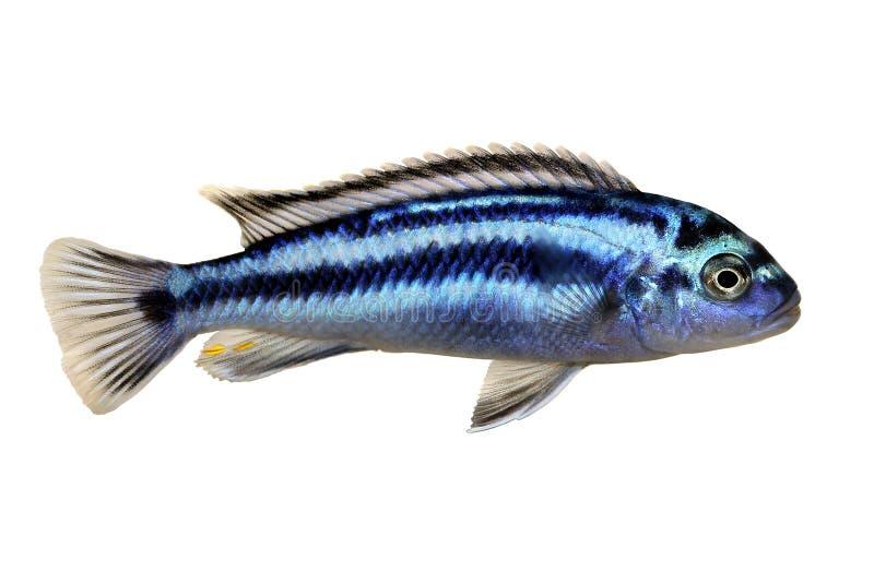 Johanni del pesce dell'acquario di melanochromis johannii delle cichlidae del Malawi di mbuna di Bluegray fotografia stock libera da diritti