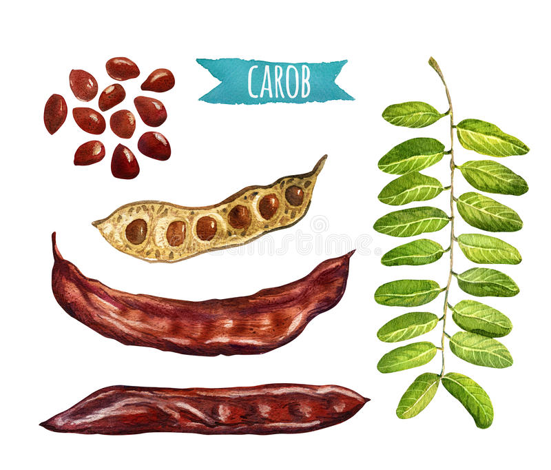 Johannisbrotbaumbaumhülsen, Samen und Blätter, Aquarellillustration lizenzfreie abbildung