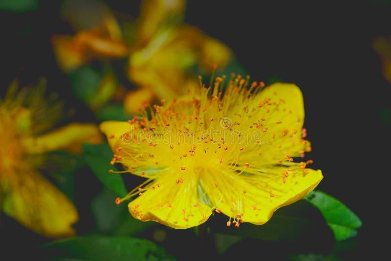 Johanniskraut hat große gelbe Blume lizenzfreie stockfotos