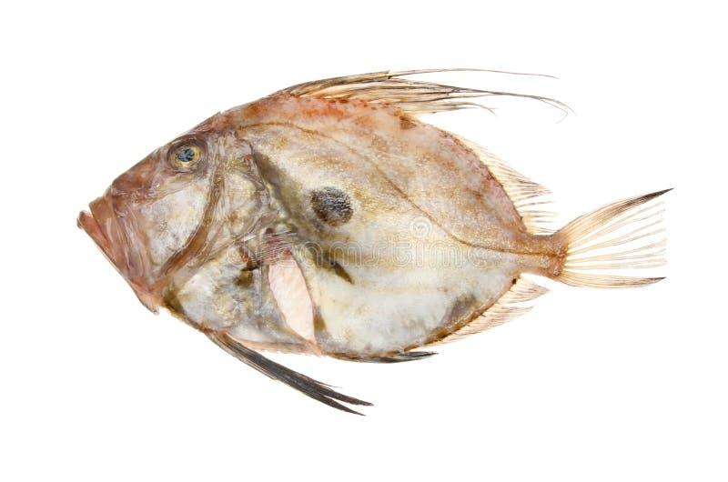 John Dory Fish stockbilder