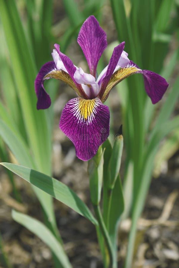 John Wood Blue Flag iris fotografering för bildbyråer