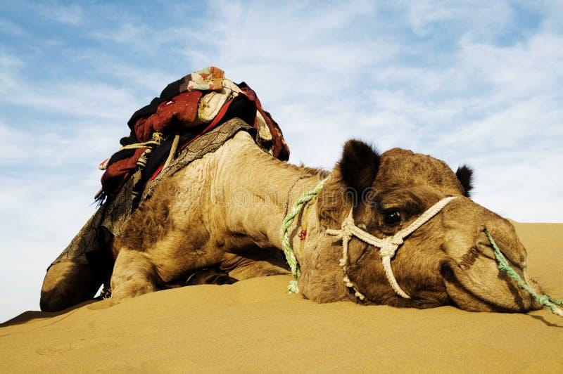 Johnnie das netteste Kamel Dromedarkamel in der Thar-Wüste, Rajasthan, Indien stockbilder