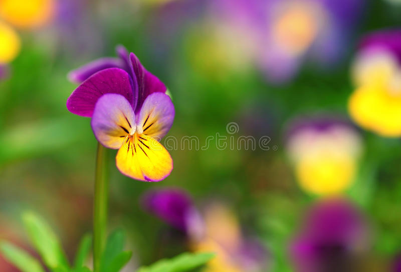 Download Johnny Jump Up stock image. Image of field, hearts, outdoor - 23970339