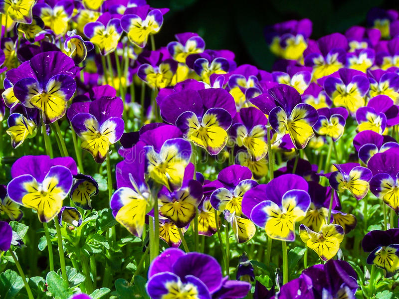 Little Johnny Jump-ups or Viola Flowers royalty free stock photo